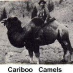 Cariboo Gold Rush – Camels?