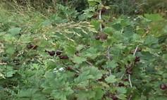 Vinland-Gooseberry