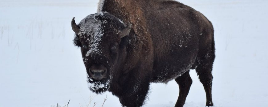 buffalo-in-winter