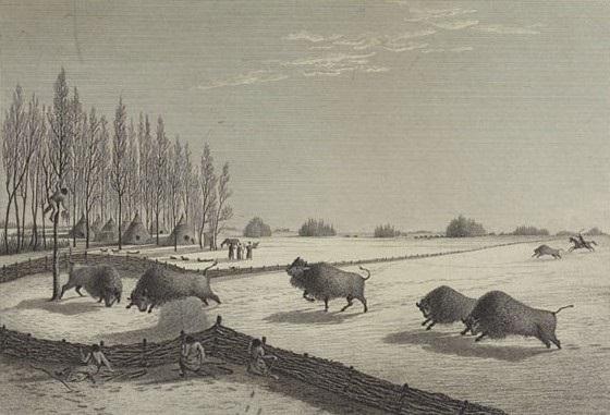 buffalo-pound