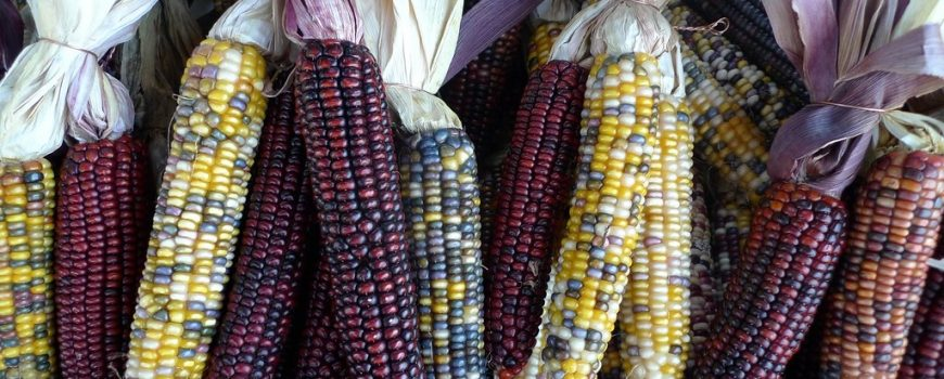 indian-corn-maize